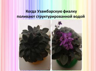 Структурированная вода для цветов